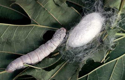 The Silkworm is the larva or caterpillar of the domesticated silkmoth