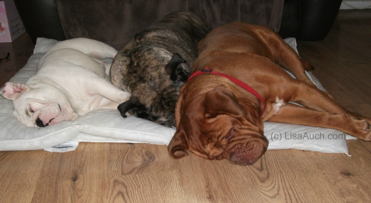 3 Dogs Sleeping Happily together