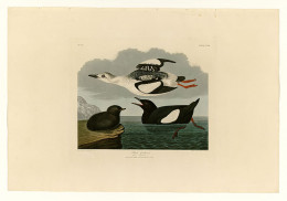 Birds of America-John James Audubon. Guillemots suffered high mortality rates along with the Puffin and Razor bill during the 1800,s  in the waters of the northern  UK and Ireland.