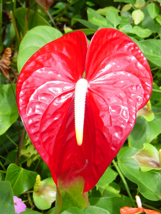 Anthurium at the Hilo Orchid Farm