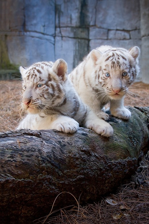Two Newborn Tiger Cubs in Lowry Park Zoo