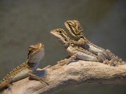Why Bearded Dragons make good pets