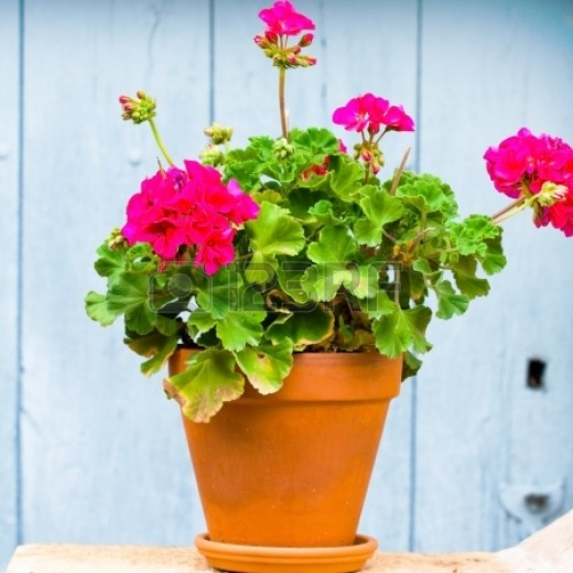 Did you know that geraniums could be used in baked goods, teas, and can treat headaches and stomach problems, according to FlowerInfo.org?
