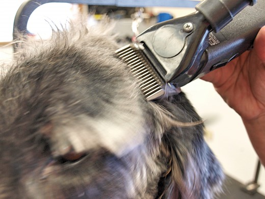 Having quiet clippers is especially important when trimming around a dog's face. The clippers pictured here are also the Andis Two-Speed, but the PowerGroom has a similar noise level and operates more quickly.