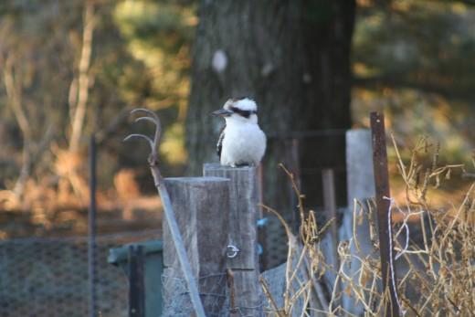 Kookaburra impatiently waiting for gardening to begin.
