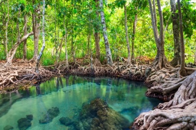 Mangrove forest in Krabi, another great area to explore