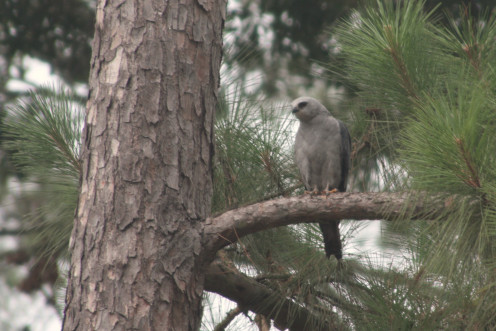 Mississippi Kite taking shelter in the pines