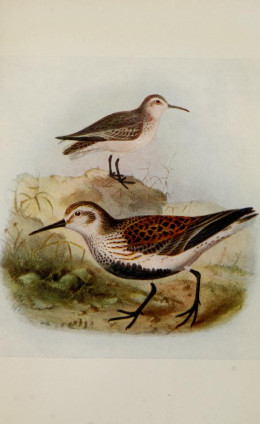 Winter plumage above summer plumage below.