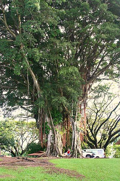 Old Banyan Tree on Banyan Drive, Hilo