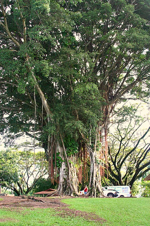 Old Banyan Tree on Banyan Drive, Hilo