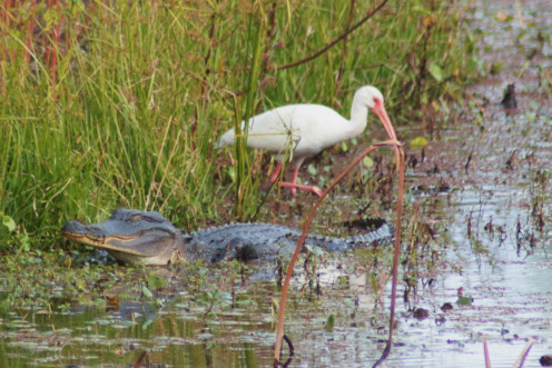 White Ibis and American Alligator hanging out at the Forty Acre Lake