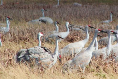 Cranes posturing and making displays