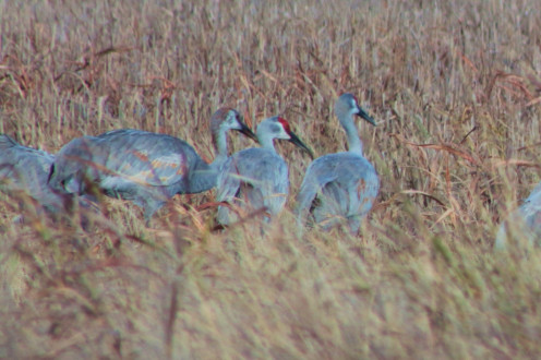 Young cranes to right and left of parent.