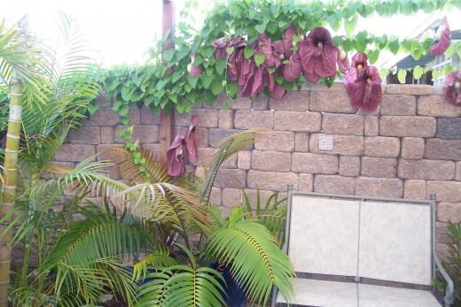 Dutchman's Pipe, Aristolochia gigantea