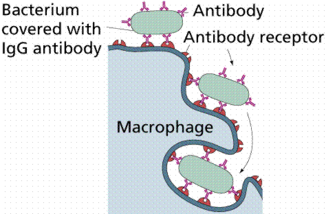 Figure B. Role of macrophages in the formation of antibodies