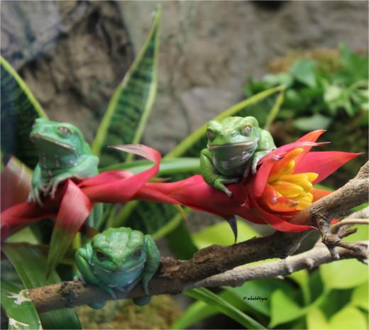 Waxy Monkey Frogs