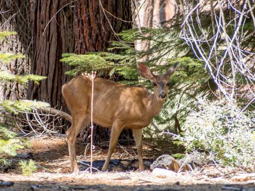 Deer at Mariposa Grove, Yosemite National Park, California.  The Mariposa Grove is located near the park's south entrance and contains about 500 mature giant sequoias.