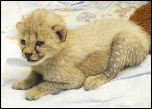 Newborn Cheetah in Cincinnati Zoo & Botanical Garden