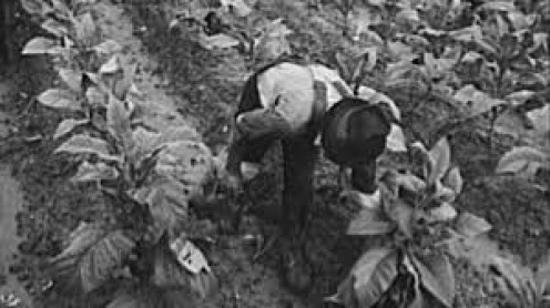 Working the tobacco crop