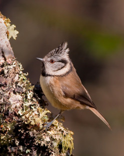 Crested Tit  { Birds of Europe }