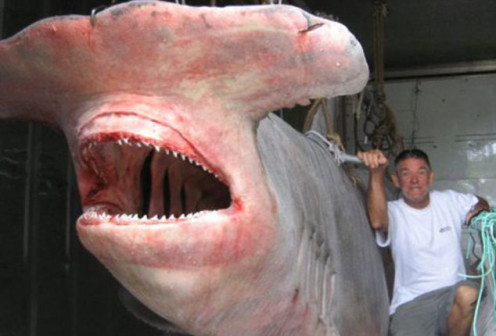 The biggest known caught in Oz 1/1/4 tons 20 feet long estimated 40 years old
