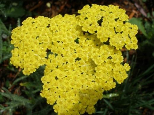 Yarrow-Coronation Gold Variety
