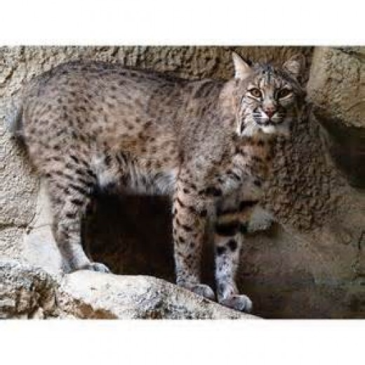 The Mexican Bobcat is a highly endangered animal and the fact that it gets shot at does not help matters.