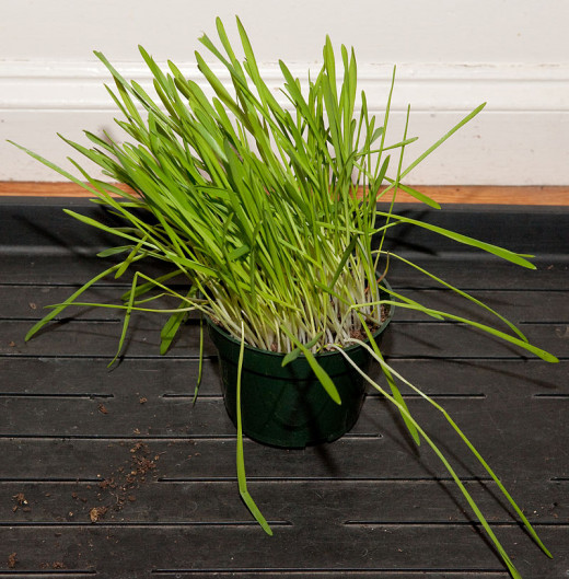 Indoor cats enjoy eating grass too. You can purchase cat grass in some supermarkets and pet stores.