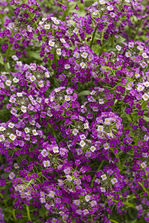 Dark Knight™ - Sweet Alyssum, loaded with little multi-colored lavender/purple flowers