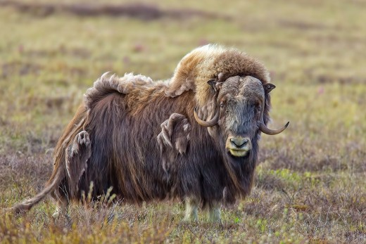 Musk-Ox at Nome, Alaska.  Bering Strait. Photo used with permission.