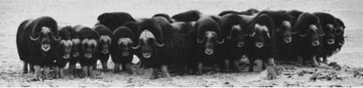 Public Domain.  Muskoxen in defense formation.  Nunavik, Alaska 1930.