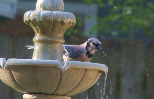 Blue Jay Enjoying a Bath
