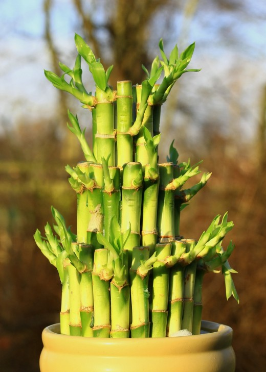 Can a lucky bamboo plant really bring you prosperity and affluence? Maybe. But even if it doesn't improve your luck, your home will look and feel much prettier with one in it!