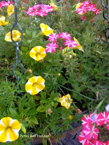 Blooming Stripes. Superbena® Royale and Cherryburst - Verbena hybrid