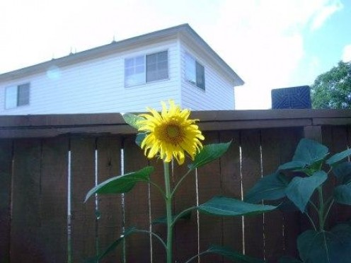 One of my sunflowers growing very well.