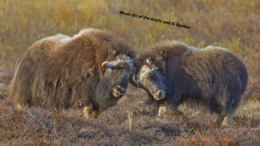 Two muskoxen ready to do battle. Males, ever ready to fight.  Photo used with permission.