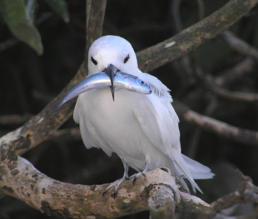 White Tern. It's snowy white and majestic flying near the Main library. I notice they fly to trees of Iolani Palace.