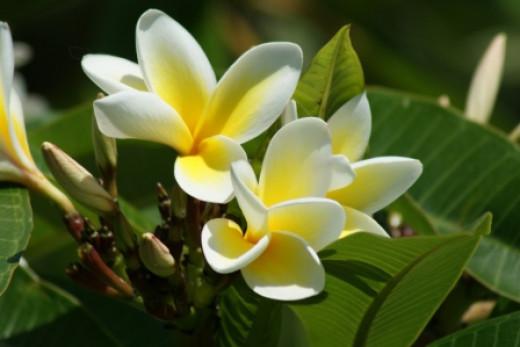 Frangipane blooms