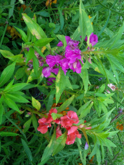 Cottage Garden Favorites: Balsam