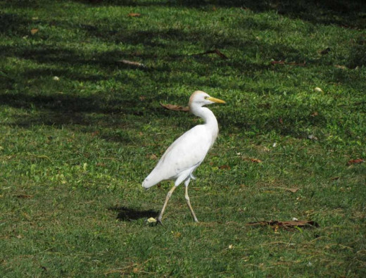 Egrets are seen on Oahu from the Windward to the Leeward areas of Oahu. They sometimes follow the grass cutters in their machines cutting grass-it's so much fun seeing egrets gleefully following the grass cutting machine.