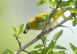 The White Eyed Bird or commonly called Mejiro is seen on cooler days at Main Library trees or Manoa.