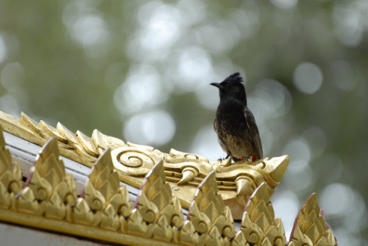 I usually see little Bulbuls by Main Library trees, near my home searching for food.