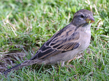Sparrows are just about everywhere I go on Oahu. Their cheery chatter keeps you company when you wait for the bus.