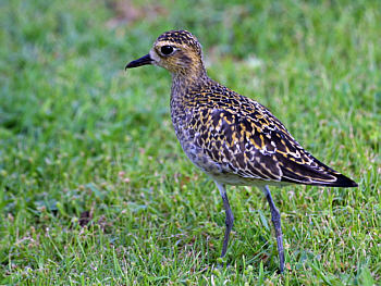 Female Golden Plover or Kolea in Hawaiian is very fun to watch. I see them at quiet grassy areas like at the Kalihi Transit Center, Kalihi Stream, the grassy lawn of the Main LIbrary.