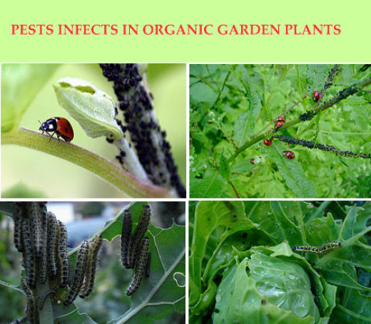 Pests infects organic garden plants