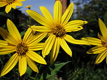 Sunchokes are related to Sunflowers as can be seen in the flowers.