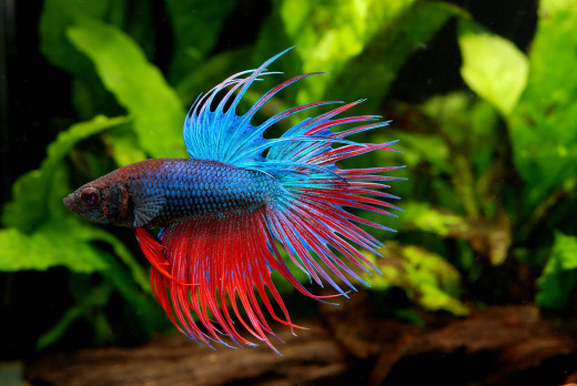 A beautiful male Crowntail Betta fish.