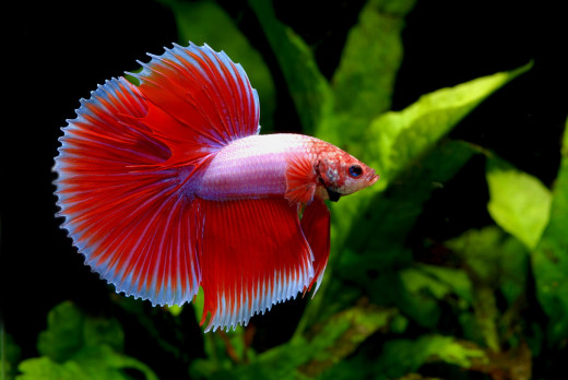 A red color variety of the Betta Splendens.