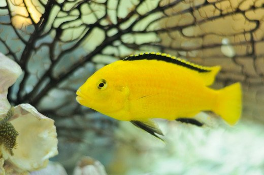 The Electric Yellow Labidochromis is one of the most popular African cichlids being kept in home aquariums.