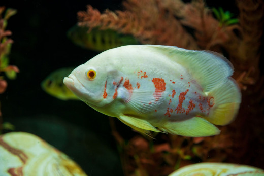 The Albino Oscar is a popular color variant of the Tiger Oscar, and is very popular with aquarium owners.